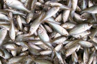 fish importation
